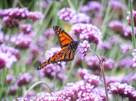 Monarha taurenis asklēpijas ziedos  (Monarch Butterfly on Milkweed) https://www.flickr.com/photos/image-catalog/18202867048/in/photolist-tJwscj-pRtPsz-qUGhbM-ofT8wN-ojF7pe-ohCmYF-ojF75r-ohCmzp-o1rACP-ohV2kn-phTYn7-pzn683-ohCFLR-o1qQZ8-o1qQEu-ofTmRJ CC Licence publiskai lietošanai