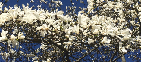 magnolijas